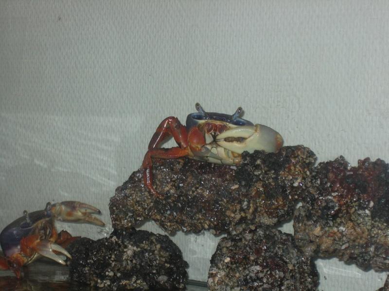 Cardisoma armatum - Crabe Arc-en-Ciel - Page 5 Maison10