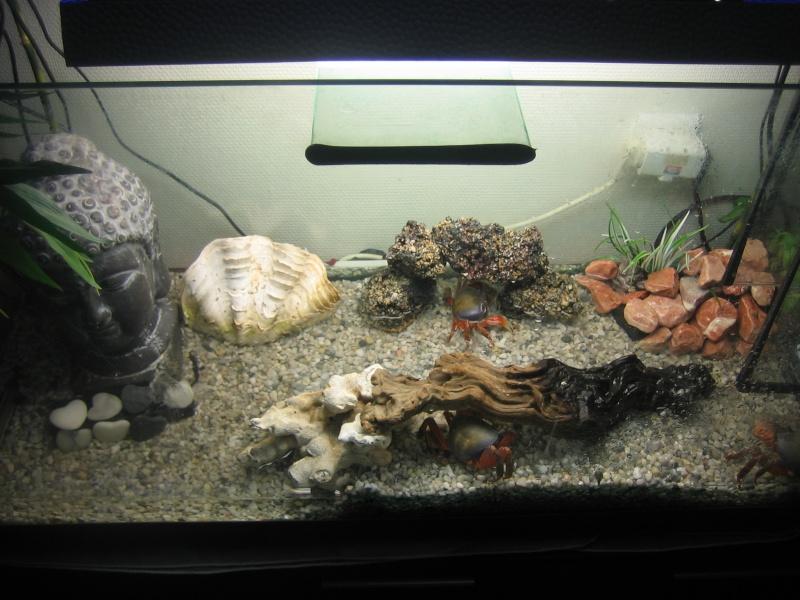 Cardisoma armatum - Crabe Arc-en-Ciel - Page 5 Photo_10