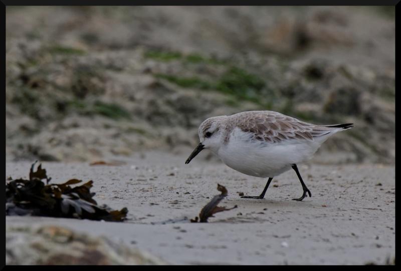 becasseau sanderling Becass10