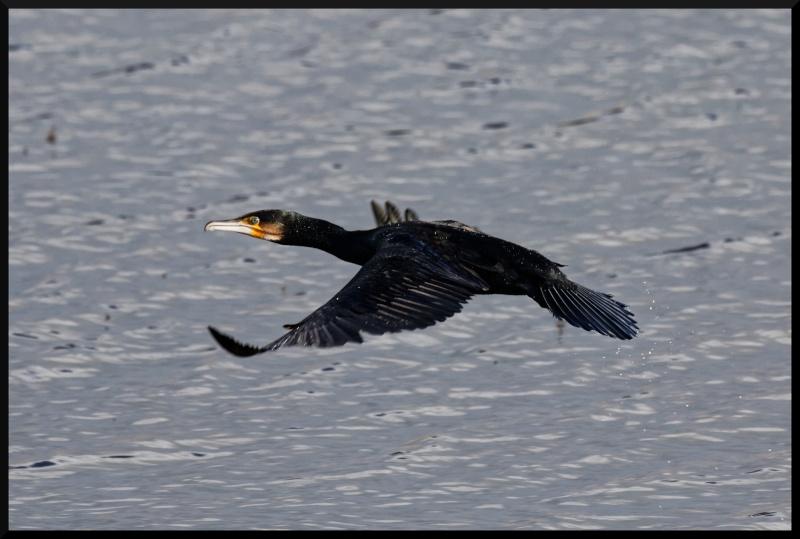 grand cormoran en vol Grand_10