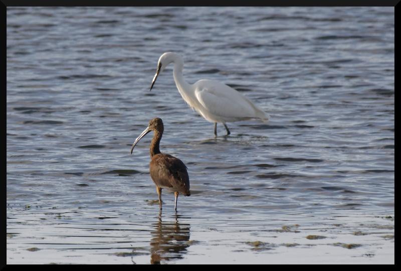 ibis falcinelle Ibis_f10