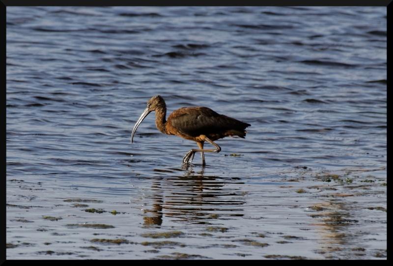 ibis falcinelle Ibis_f11