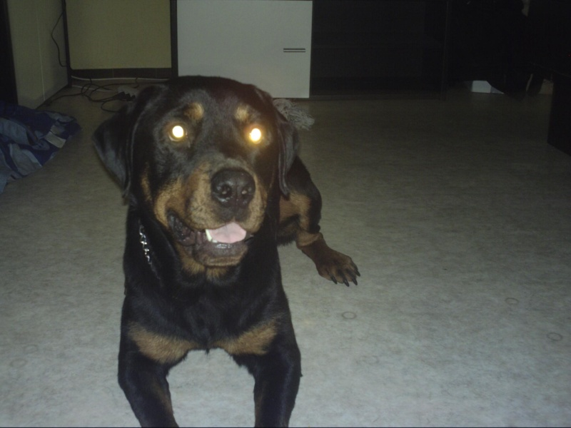 CAID mâle Rott 2 ans cherche famille URGENT - Page 2 Crim0010