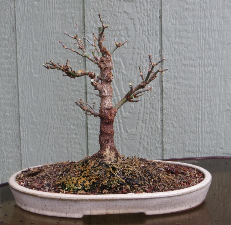 Boxelder for Bonsai Img_5411