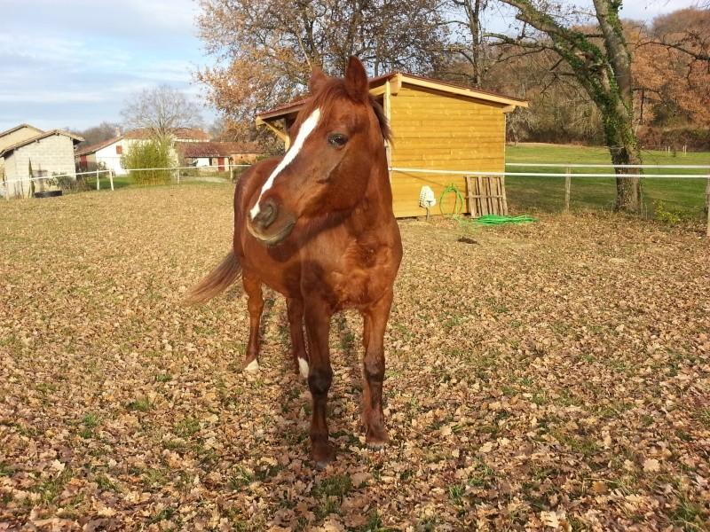 JERRY - ONC  selle (poney) né en 1991 - adopté en octobre 2015 par Patricia 20151216