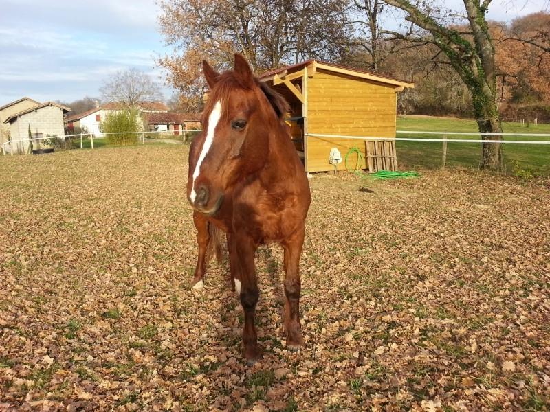 JERRY - ONC  selle (poney) né en 1991 - adopté en octobre 2015 par Patricia 20151217