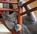 Couleurs des robes de chats 120px-10