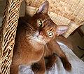 Couleurs des robes de chats 120px-13