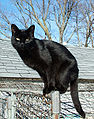 Couleurs des robes de chats 94px-b10