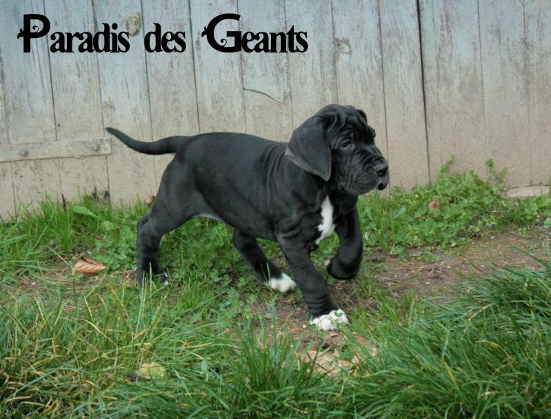 Des chiots dogue allemand au Paradis des Géants - Page 2 Img_5710