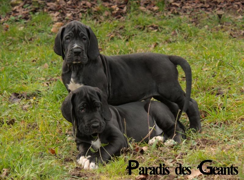 Des chiots dogue allemand au Paradis des Géants - Page 2 L_empe10