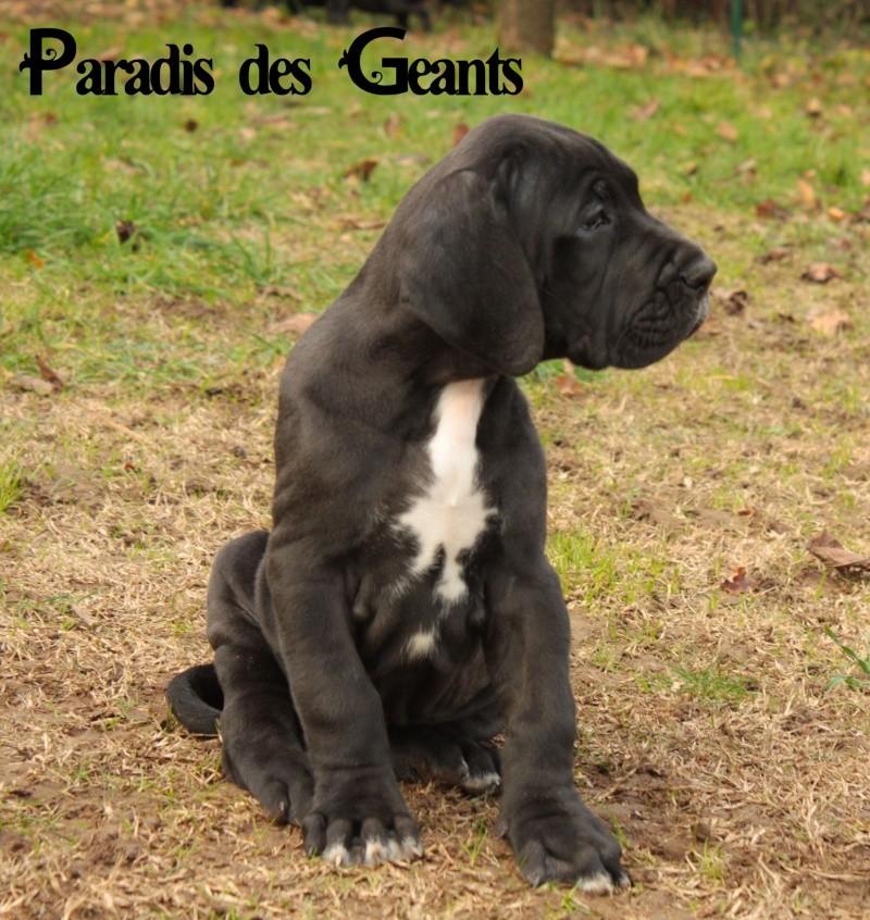 Des chiots dogue allemand au Paradis des Géants - Page 2 Lanvin10