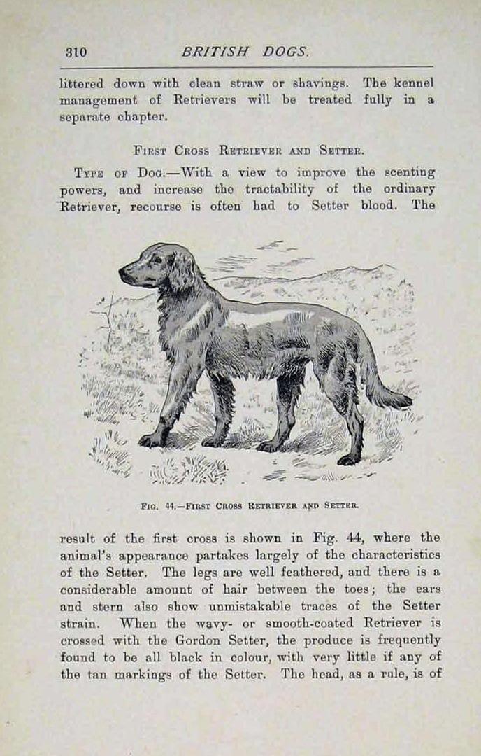 Croisement Retriever/Setter, illustration de 1897... Setter10