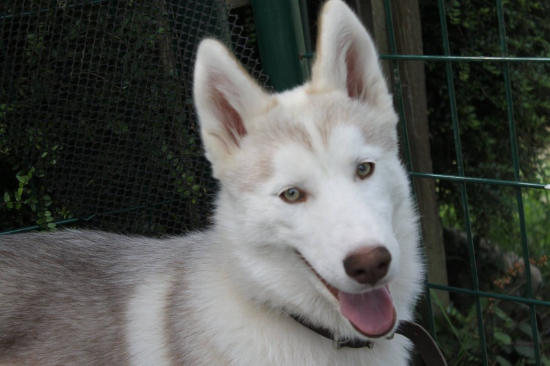 LAIKA Jeune husky femelle part50 Touit110