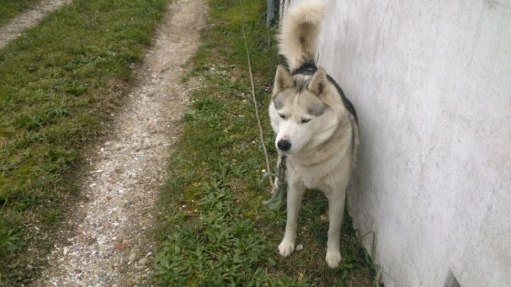HAPPY HUSKY male de 4 ans ile d'oleron part V_6bdd10