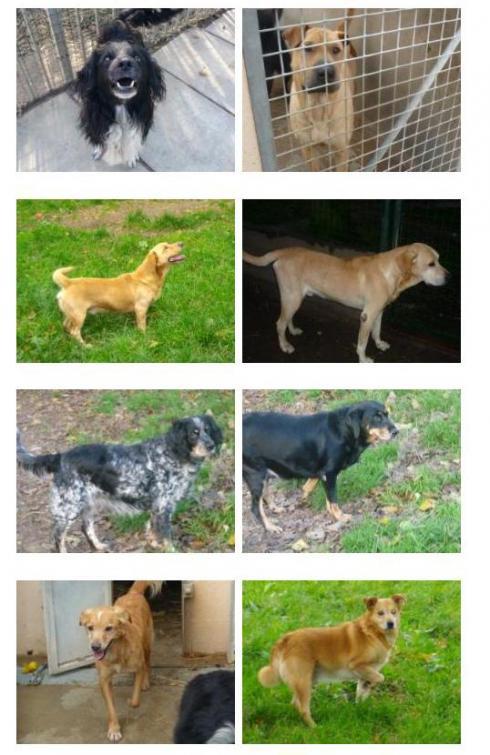 Ces chiens risquent d'être euthanasiés le 24 décembre Sosc310