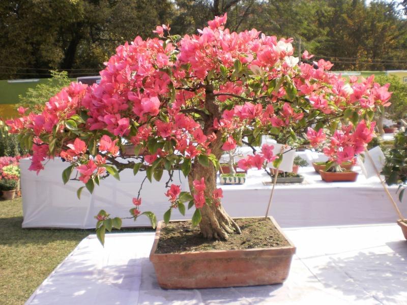 my bougainvillea bonsais...please give your comments P1290011
