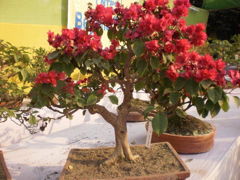 my bougainvillea bonsais...please give your comments P2010011