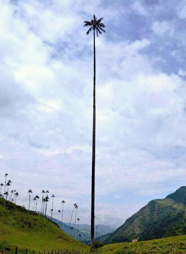 La Palma Real mas grande de Cuba La_pal10