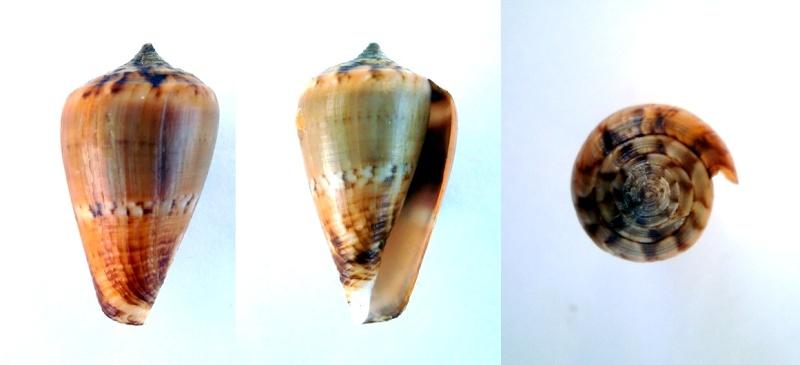 Lautoconus sp. du Sénégal  Pict0016