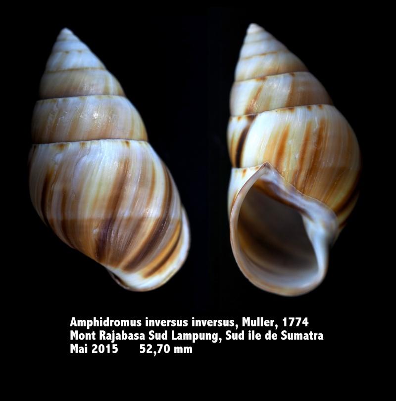 Amphidromus inversus inversus (Muller, 1774) Amphid12