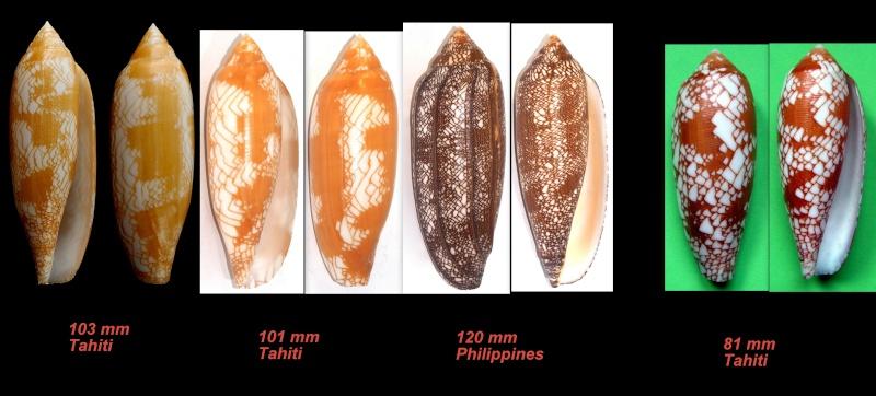 Conus (Darioconus) auratinus da Motta, 1982 - Page 2 Aurati10