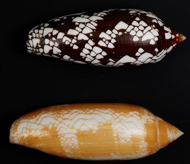 Conus (Darioconus) auratinus da Motta, 1982 - Page 2 Captur14