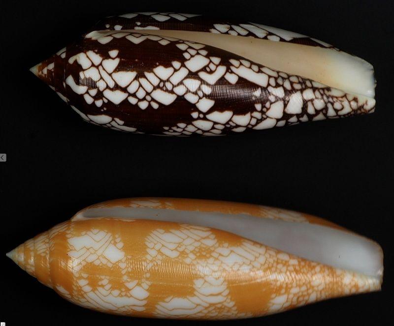 Conus (Darioconus) auratinus da Motta, 1982 - Page 2 Captur15