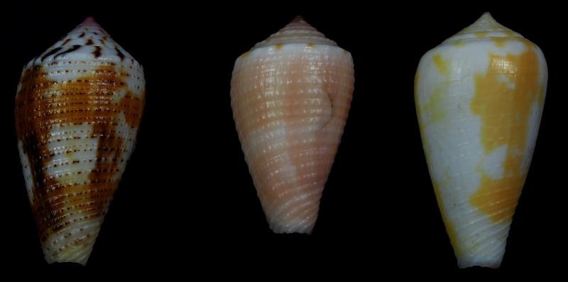Conus (Pionoconus) metcalfii   Reeve, 1843 - Juvéniles P2010010