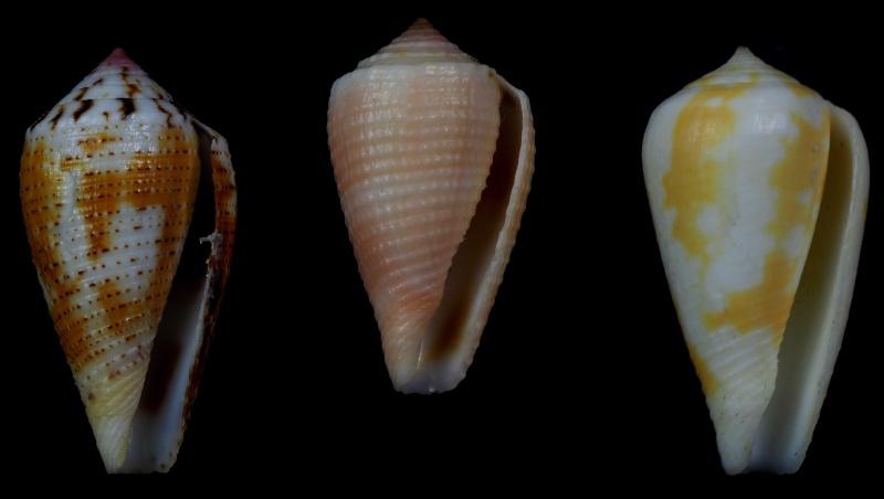 Conus (Pionoconus) metcalfii   Reeve, 1843 - Juvéniles P2010011