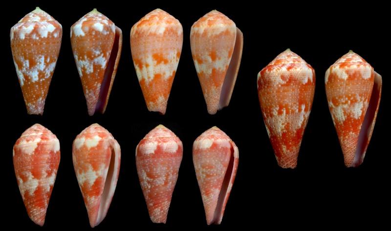 Conus (Rhizoconus) pertusus elodieallaryae  Cossignani, 2013 Pertus10