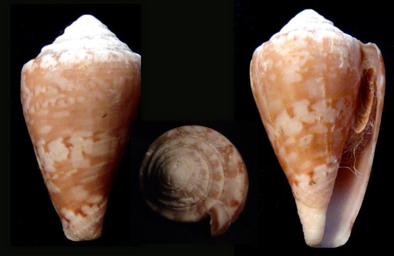 Cone à identifier Tinian10