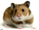 .Hamster.