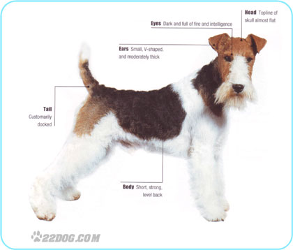 Fox Terrier Fox_te10
