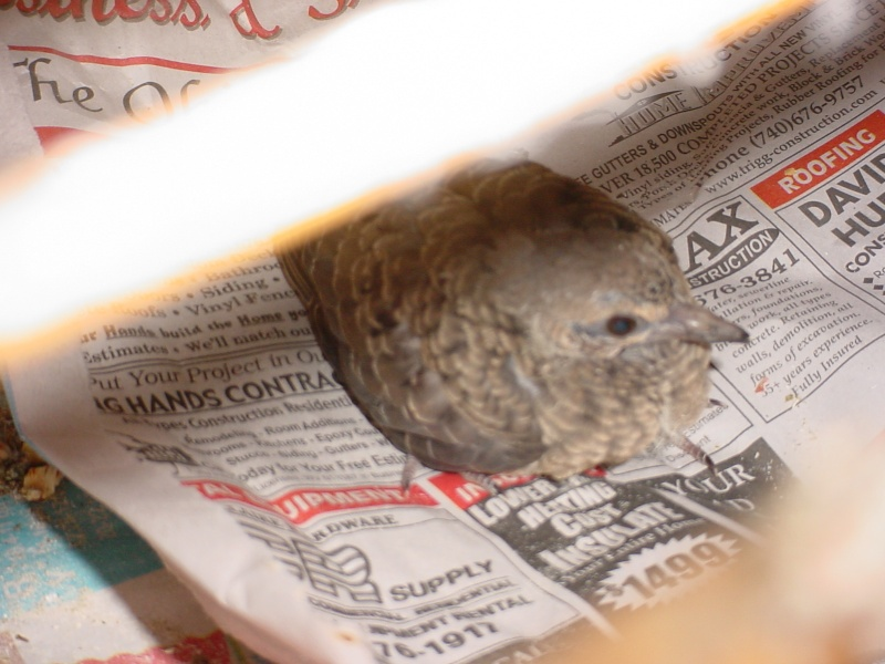 Mourning Dove (squab) Dsc00014