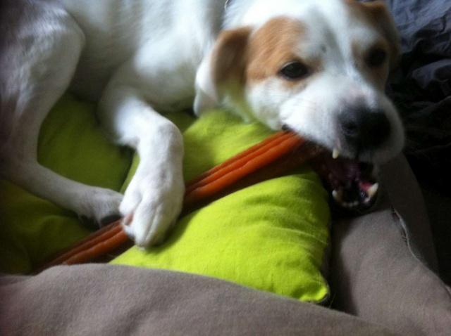 Merveilleux Yaki, 3 pattes, un des meilleurs chiens au monde, adopté en 2011 Danemark Img_3911