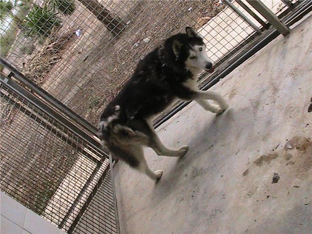 LOBO 6/7 ans, husky sibérien, fourrière de la honte, Espagne, DECEDE Lobo_210