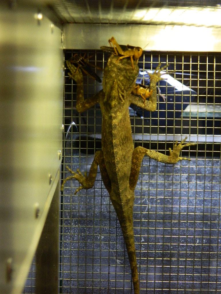 SpYro , Acanthosaura capra ( dragon des montagnes) [ à placer] Dscn2812