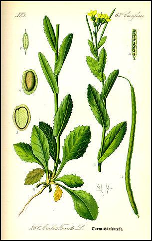 Pseudoturritis turrita (= Arabis turrita) - arabette tourette 301px-10