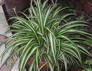 Chlorophytum comosum  312px-10