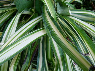 Chlorophytum comosum  320px-10