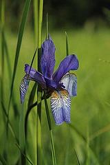 Iris sibirica - iris de Sibérie 320px-13