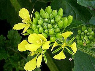 Sinapis alba - moutarde blanche 320px-14