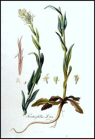 Turritis glabra (= Arabis perfoliata) - arabette glabre  328px-10