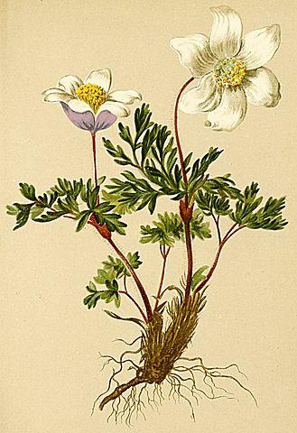 Anemone alpina subsp. apiifolia (= Pulsatilla alpina apiifolia) - pulsatille soufrée 329px-10