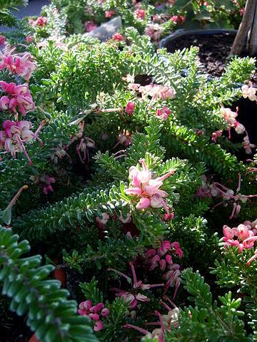 Grevillea lanigera 'Mount Tamboritha' 360px-11