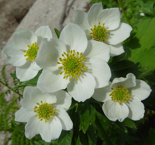 Anemone narcissiflora - anémone à fleur de narcisse 514px-10