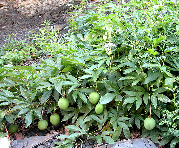 Passiflora edulis var. kerii (= Passiflora incarnata) 579px-10