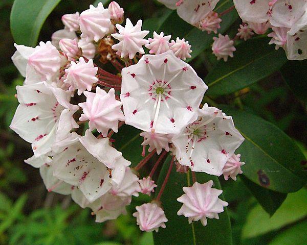 Kalmia latifolia - kalmie à feuilles larges  600px-10
