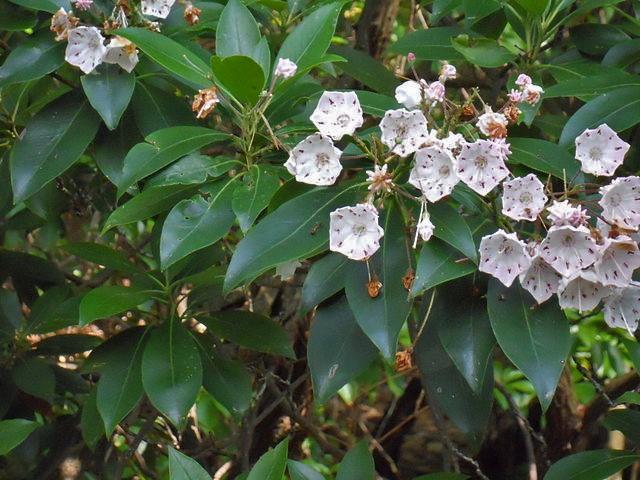 Kalmia latifolia - kalmie à feuilles larges  640px-11